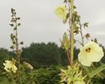 花オクラ(トロロアオイ)